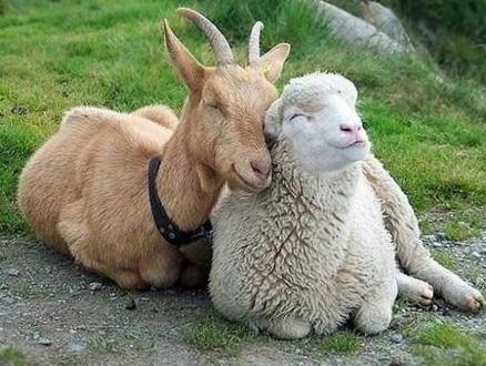 козы овцы.jpg