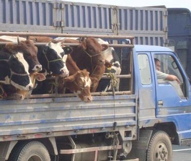 ввоз скота.jpg