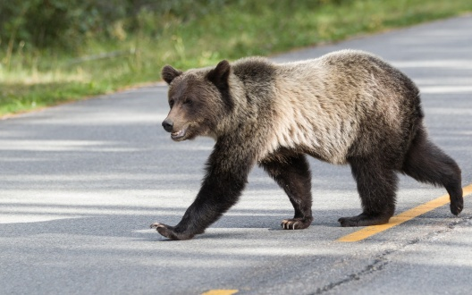 Roads_Brown_Bears_465209.jpg