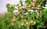 яблоневый сад.jpg