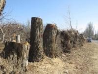 массовая вырубка деревьев .jpg